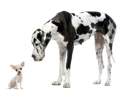 Great Dane HARLEQUIN and puppy Chihuahua at each other in front of a white background