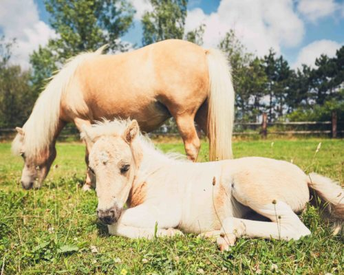 Mare with foal of the miniature horse on the pasture.