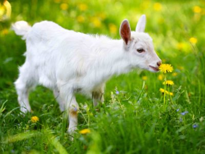 White little goat standing on green grass with yellow dandelions on a sunny day