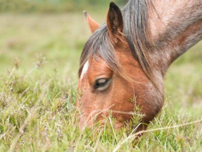 closeup of a wild pony grazing in the New Forest national park in the UK