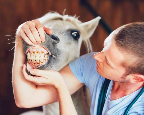 Veterinary medicine at farm. Veterinarian examining teeth of the horse in the stable.
