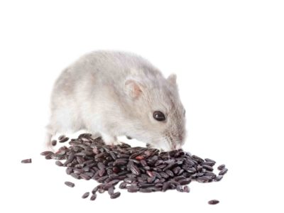 Djungarian hamster eating black rice in front of white background